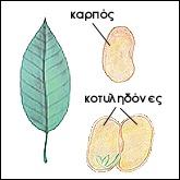 Δικοτυλήδονα φυτά