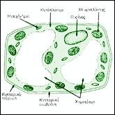 Κύτταρο φυτικό