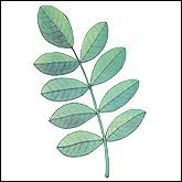Σύνθετα φύλλα