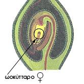 Ωοκύτταρο