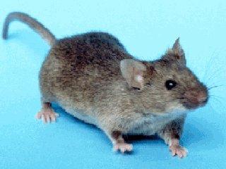 Ποντικός