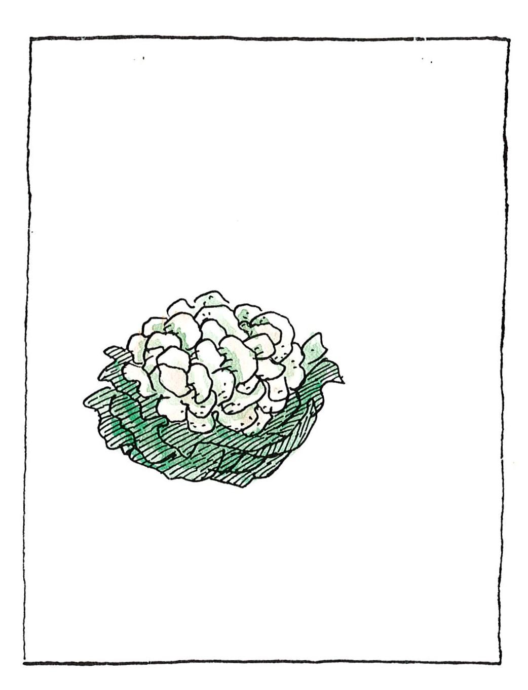 Κουνουπίδι
